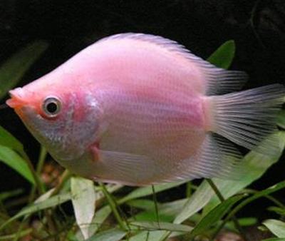 接吻鱼不接吻为什么呢
