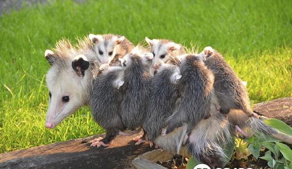 世界上最大的老鼠身高11米堪比3岁儿童